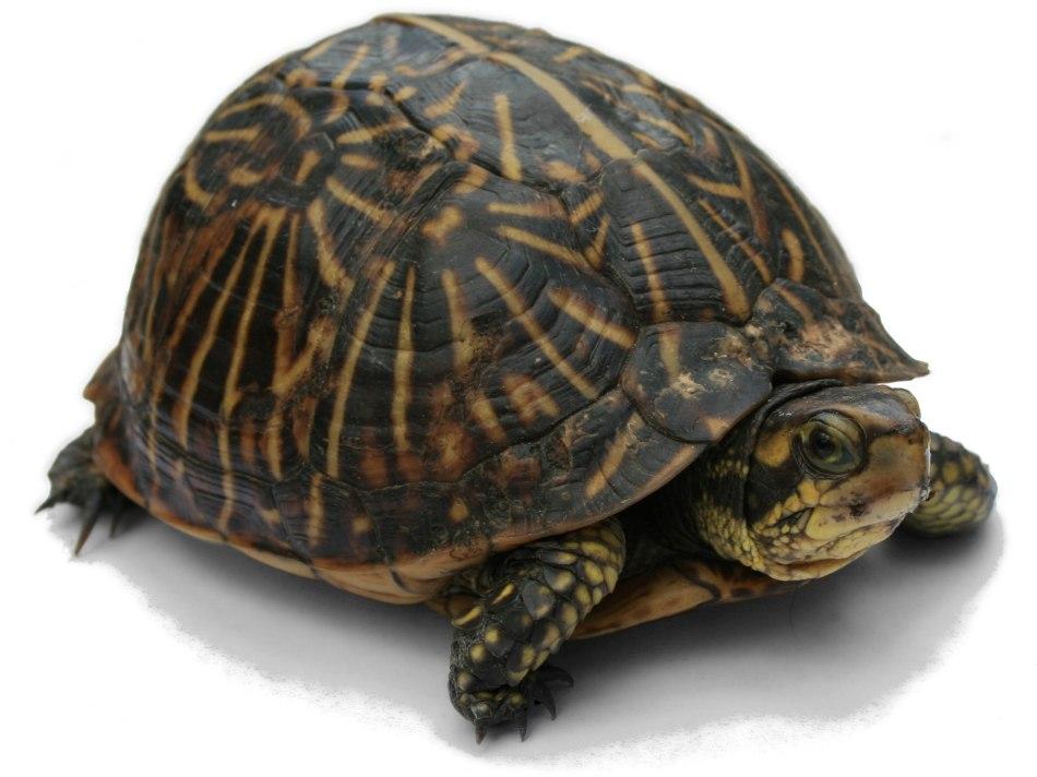 2560px-florida_box_turtle_digon3_re-edited